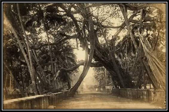 Banyan Tree - Colpetty, Ceylon